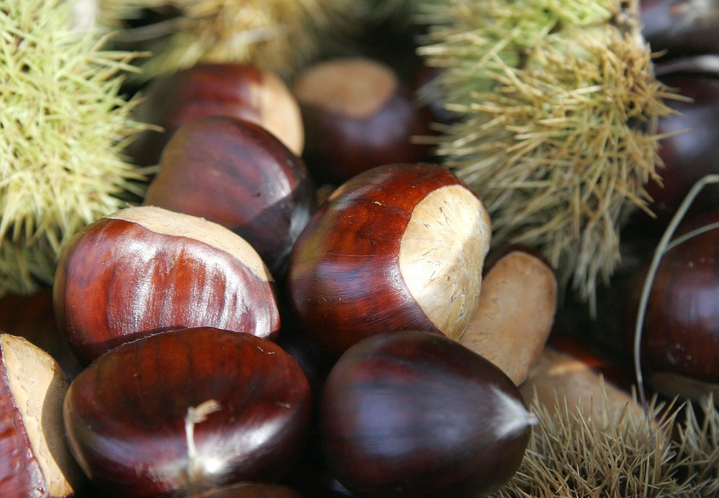 growing chestnuts from seeds