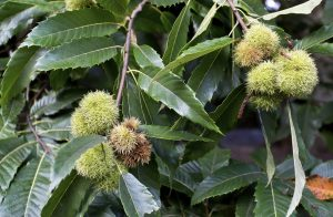 growing chestnut trees